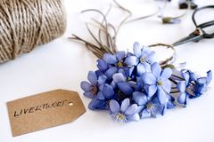 Pi?kny wiosna bukiet, porostnica, Hepatica nobilis kwitnie na drewnianym bia?ym tle Jadalny, zdrowy minimalista fotografia royalty free