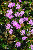 Piękny wiosna floks Obrazy Stock