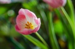 Piękny wiosna kwiatu tulipan obrazy royalty free