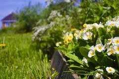 Pi?kny wiosna pierwiosnki kwitnie z zielonymi li??mi pod ?wiat?em s?onecznym w ogr?dzie przy wiosny lub lata sezonem poj?cia odos fotografia stock