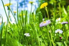 Pi?kny wiosna pierwiosnki kwitnie z zielonymi li??mi pod ?wiat?em s?onecznym w ogr?dzie przy wiosny lub lata sezonem poj?cia odos obrazy royalty free