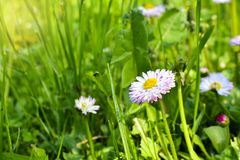 Pi?kny wiosna pierwiosnki kwitnie z zielonymi li??mi pod ?wiat?em s?onecznym w ogr?dzie przy wiosny lub lata sezonem poj?cia odos fotografia royalty free