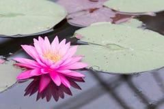 Piękny wodna leluja Zdjęcia Stock