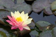 Piękny wodna leluja Fotografia Royalty Free