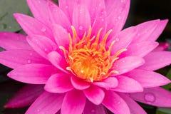 Piękny wodna leluja Fotografia Stock