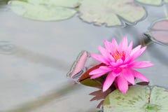 Piękny wodna leluja Zdjęcie Royalty Free