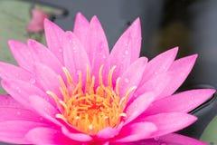 Piękny wodna leluja Obraz Royalty Free