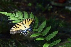 Piękny Wschodni Tygrysi Swallowtail motyl Zdjęcia Royalty Free
