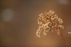 Piękny wysuszony kwiat Zdjęcia Royalty Free