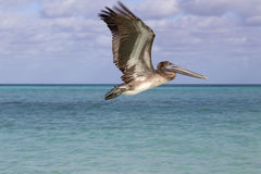 Piękny wzrost pelikan Fotografia Royalty Free