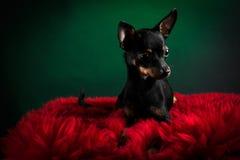 Piękny zabawkarski terier Fotografia Royalty Free