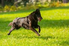 Piękny zabawy Groenendael psa szczeniaka czekanie Czarny Belgijski bacy Groenendael jesieni portret Fotografia Royalty Free