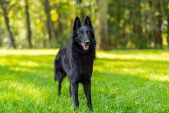 Piękny zabawy Groenendael psa szczeniaka czekanie Czarny Belgijski bacy Groenendael jesieni portret Fotografia Stock