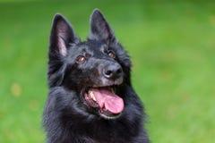 Piękny zabawy Groenendael psa szczeniaka czekanie Czarny Belgijski bacy Groenendael jesieni portret Obrazy Stock