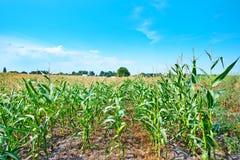 Piękny zielony kukurydzy pole Obraz Stock