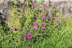 Piękny zmrok menchii trawy kwiat bengalczyka ogród Zdjęcie Stock