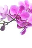 pięknych kwiatów odosobniony storczykowy purpurowy biel Obrazy Royalty Free