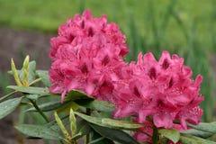 pięknych kwiatów ogrodowe menchie Zdjęcie Stock