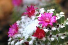 Pięknych kwitnienie menchii kaktusa dzicy pustynni kwiaty Zdjęcia Royalty Free