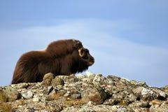 piżm ox ovibos moschatus zdjęcie royalty free
