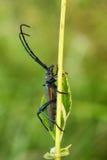 Piżma beetleAromia moschata Fotografia Stock