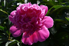 Pi-meson. Pink pi-meson in the light of a calling sun Royalty Free Stock Photo