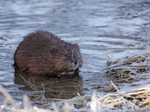 Piżmoszczur na brzeg Fotografia Stock