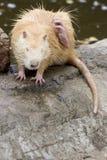 piżmoszczura Fotografia Royalty Free