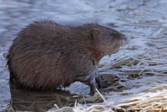 Piżmoszczura profil Zdjęcia Stock