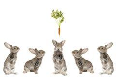 pięć popielaty królik Obrazy Stock