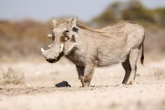 pić warthogs zdjęcie royalty free