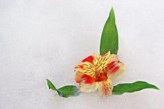 piana kwiat Zdjęcia Stock