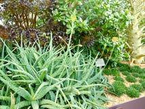 Piani del cactus Immagine Stock