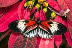Pianina Heliconius kluczowy motyl Fotografia Royalty Free