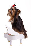 Pianist dog Stock Images