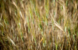 Piano del cereale Fotografie Stock
