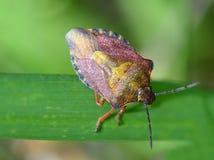 Piano di erbe dell'insetto dello scarabeo grande macro Fotografie Stock