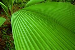 Piano di foglia di palma fotografie stock libere da diritti