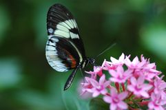 Piano Key Butterfly. Heliconius melpomene on a pink Penta Stock Image