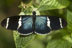 Piano Key Butterfly. Closeup of a Piano Key Butterfly-Heliconius melpomene Royalty Free Stock Photos