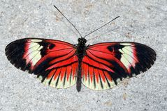 Piano Key Butterfly. Heliconius melpomene Royalty Free Stock Images