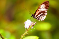 Piano key butterfly on flower in aviary in Florida Stock Photos