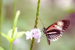 Piano key butterfly on flower in aviary Royalty Free Stock Images