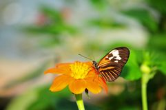 Piano Key butterfly on flower Stock Images