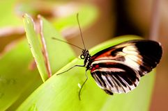 Piano key butterfly on green leaf in aviary Royalty Free Stock Photos
