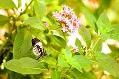 Piano key butterfly on green leaf Royalty Free Stock Photo