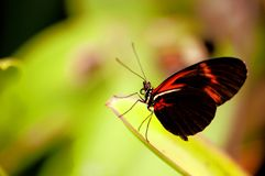 Piano key butterfly on leaf and blurred background Royalty Free Stock Images