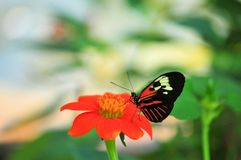 Piano key butterfly on Mexican sunflower Stock Image