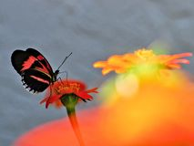 Piano key butterfly on Mexican sunflower Royalty Free Stock Image