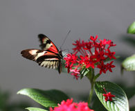 Piano Key Butterfly Stock Images